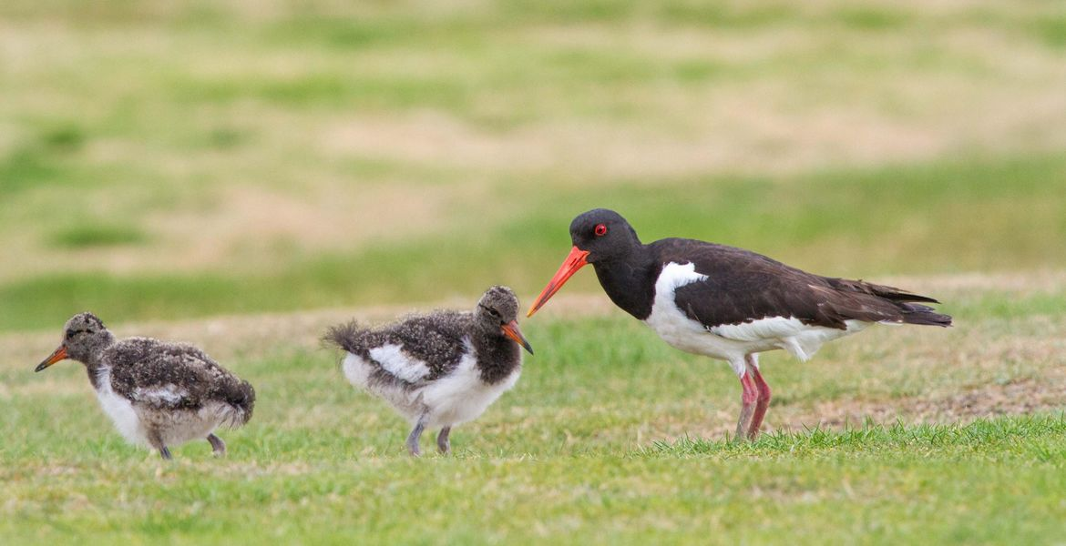 Oyster Catcher brood on 14th by Bill John
