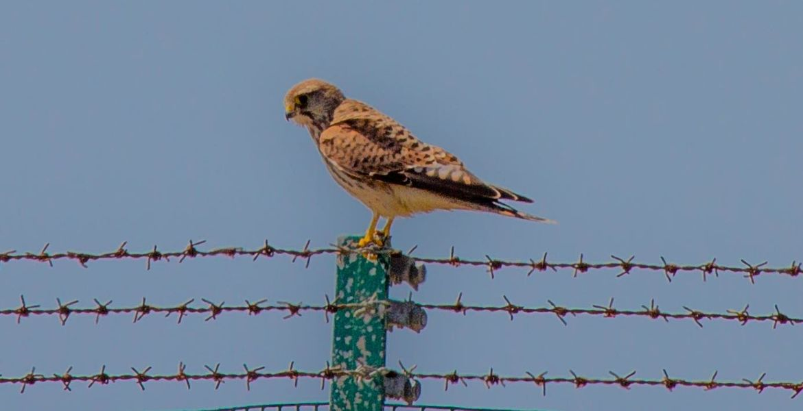 Kestrel on Boundary fence By Bill John