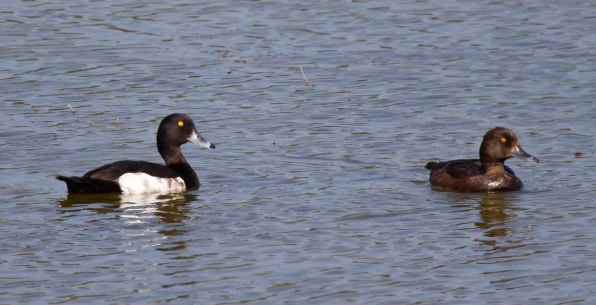 Tufted Ducks on Sinah Lake by Bill John